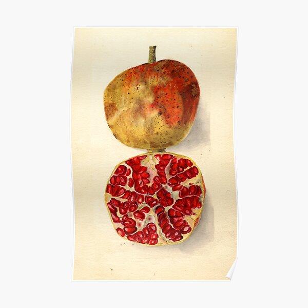 Vintage Illustration of a Pomegranate Poster