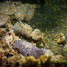 Godiva sp. - Garden Island, South Australia by Dan Monceaux