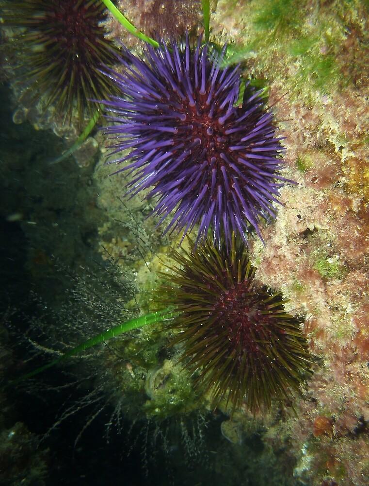 Sea urchins (Heliocidaris erythrogramma) - Glenelg 'blocks', South Australia by Dan Monceaux