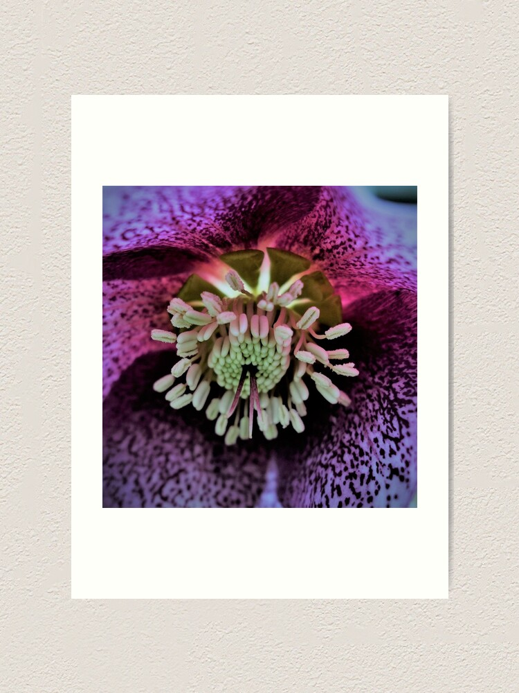 Alternate view of Purple Hellebore Art Print