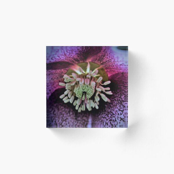 Purple Hellebore Acrylic Block
