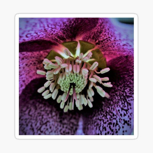 Purple Hellebore Sticker