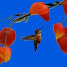 OREGON WILD BIRDS...RUFOUS HUMMINGBIRD by RoseMarie747