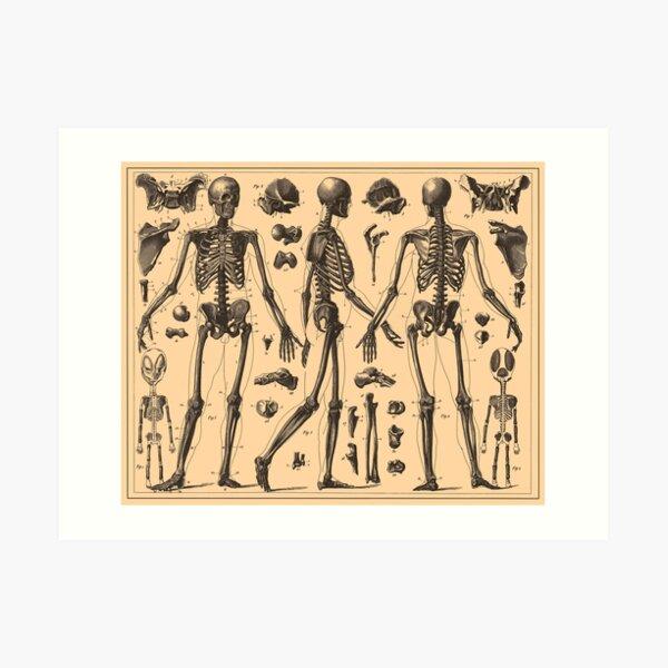 Diagrama de la anatomía esquelética humana de la vendimia (1907) Lámina artística