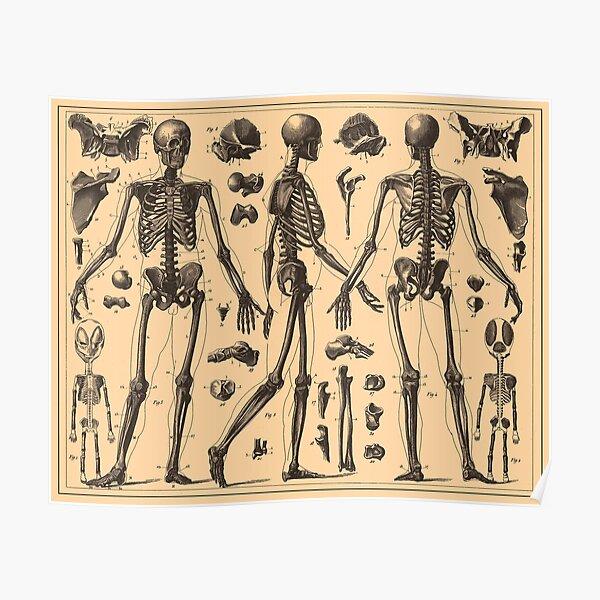 Vintage Human Skeleton Anatomy Diagram (1907) Poster