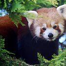 Red Panda by Lorna Mulligan