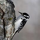 Hairy Woodpecker (female) by lumiwa
