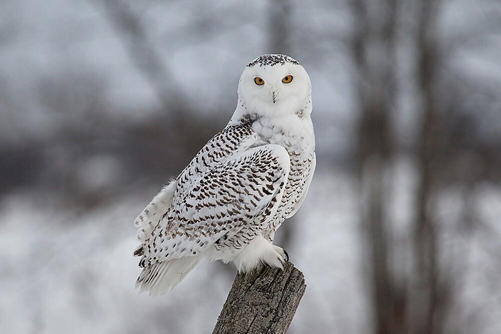 Snowy Owl by Eunice Gibb