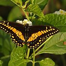 Black Swallowtail Butterfly by Robert Abraham