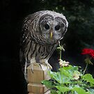Young Barred owl next to Geranium by Monteen McCord