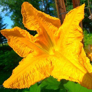 Pumpkin Flower by MaeBelle