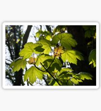 Young Sycamore Leaves Sticker