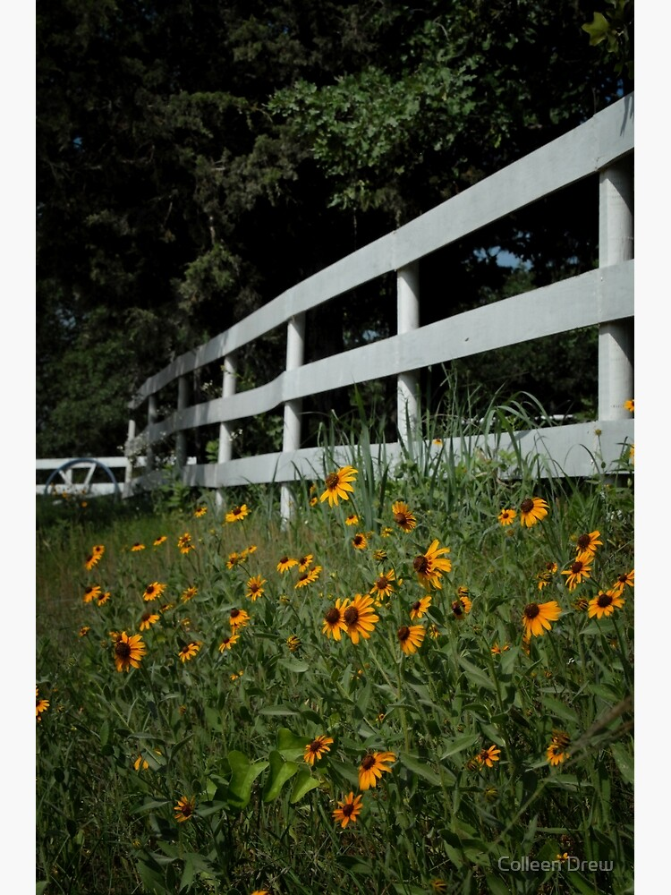 Black Eyed Susans along the Fence by colgdrew
