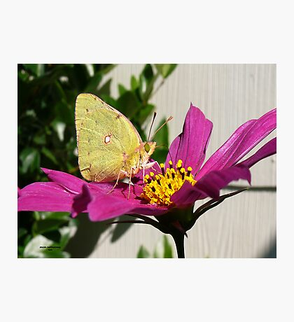 Cabage Butterfly Photographic Print