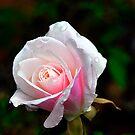 Spring Rose by Clayton Bruster