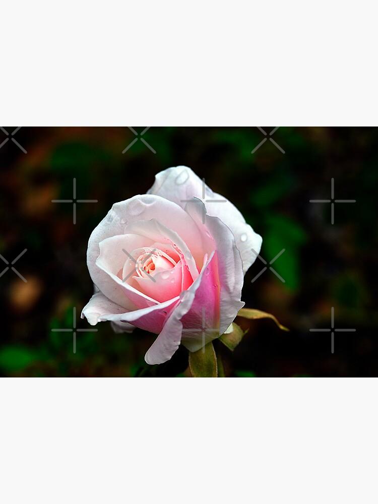 Spring Rose by claytonbruster