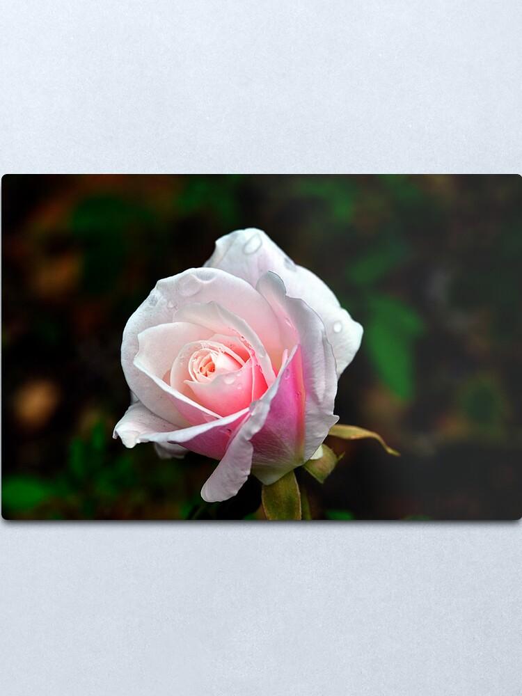 Alternate view of Spring Rose Metal Print