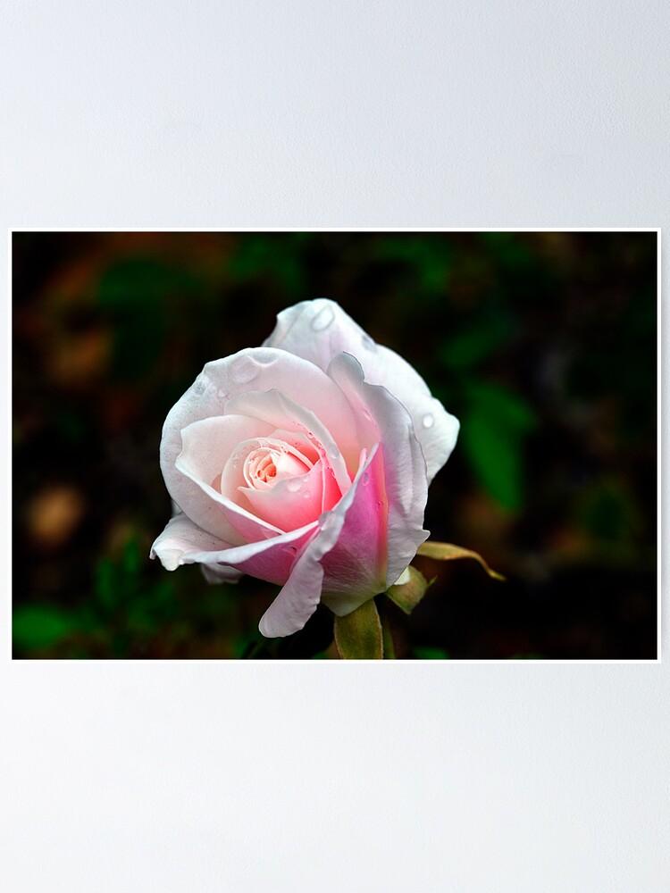 Alternate view of Spring Rose Poster