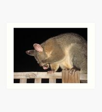 Shy Brush-tailed Possum Art Print