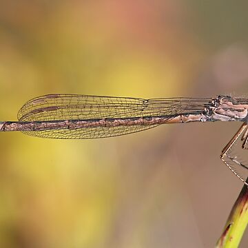 Female Siberian Damselfly by Hawker