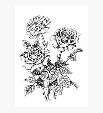 Pen and Ink Roses (pen and ink on paper) Photographic Print