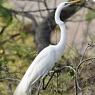 Great egret in breeding plumage by Kate Farkas