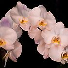 White orchid by Zina Stromberg