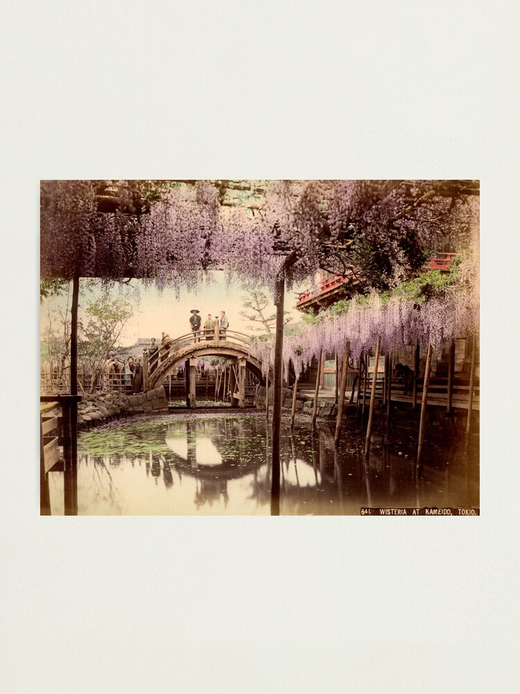 Alternate view of Wisteria at Kameido, Tokyo Photographic Print