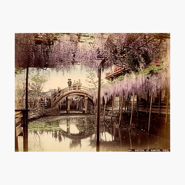 Wisteria at Kameido, Tokyo Photographic Print
