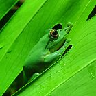 Green Tree Frog by Steven Guy