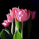 Dark Tulip Magic 7085 by Candy Paull