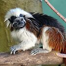 Cotton-top Tamarin by Steven Guy