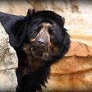 SLOTH BEAR by CRYROLFE