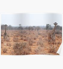 young giraffes Poster