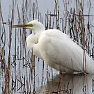 Great Egret by Jamie  Green