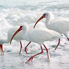 White Ibis in Foam by Karen Checca