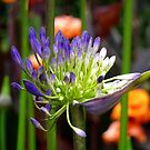 Agapanthus africanus by Magee