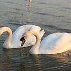 Two white swans by Ana Belaj