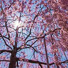 Weeping Sakura (Cherry Blossom) Tree from Japan by TokyoLens
