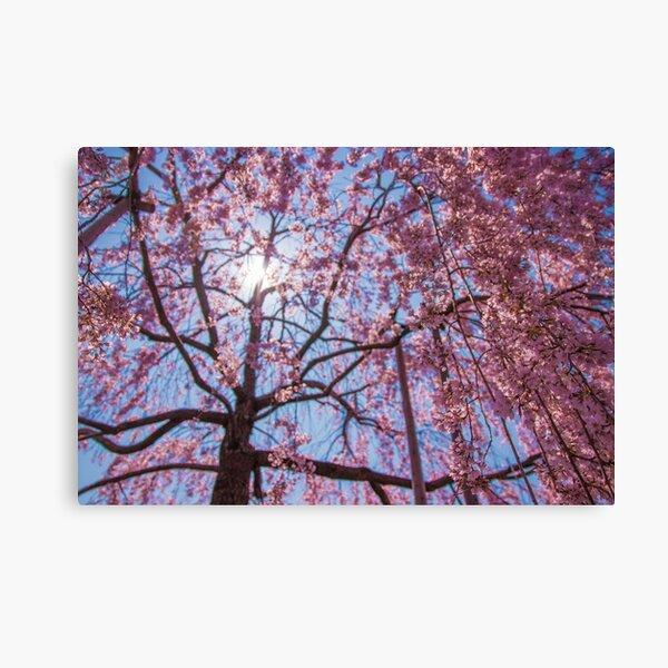 Weeping Sakura (Cherry Blossom) Tree from Japan Canvas Print