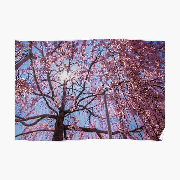 Weeping Sakura (Cherry Blossom) Tree from Japan Poster