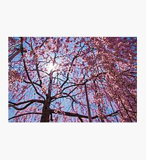 Weeping Sakura (Cherry Blossom) Tree from Japan Photographic Print