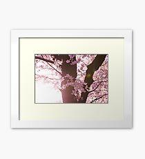 Sunset Sakura Cherry Blossoms in Japan Framed Print