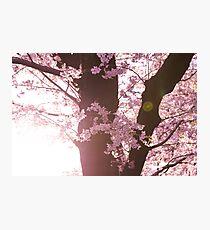 Sunset Sakura Cherry Blossoms in Japan Photographic Print