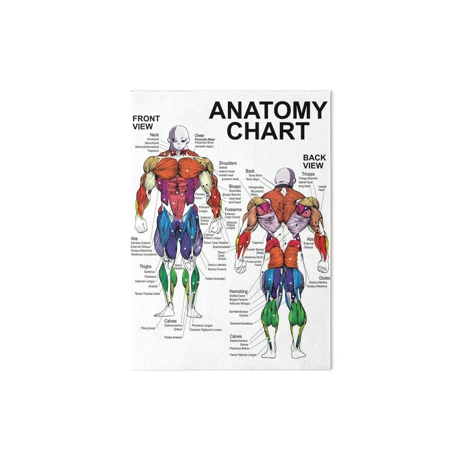 Excelente Diagrama De La Anatomía Muscular Masculina Colección ...
