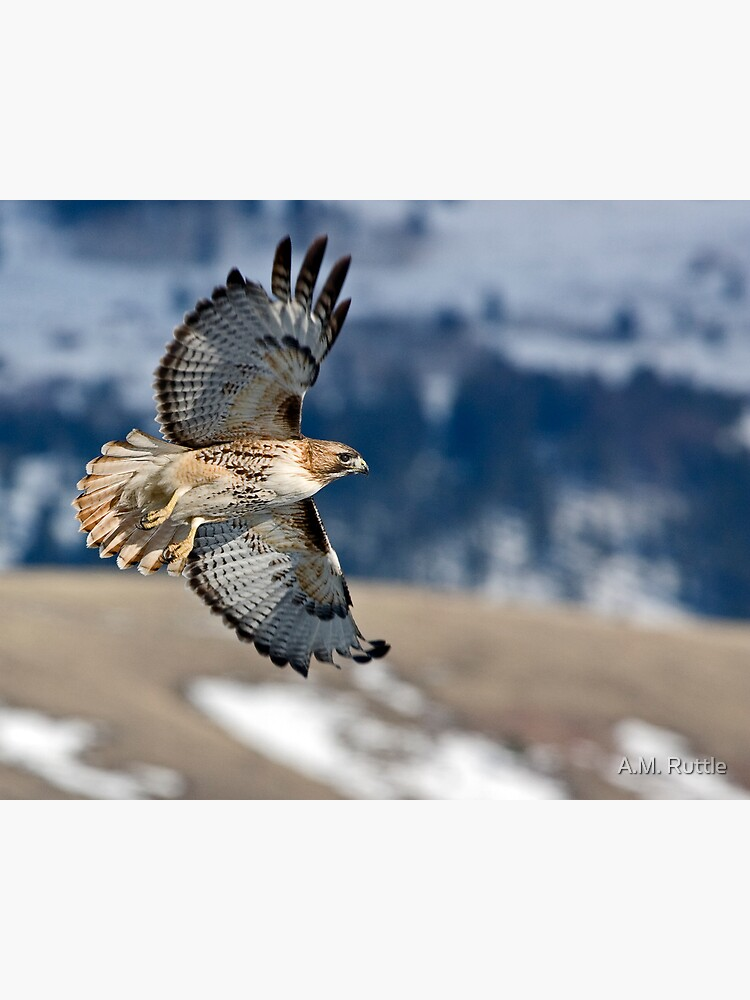 Red-Tailed Hawk Banking Away by annruttle