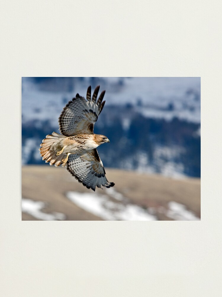 Alternate view of Red-Tailed Hawk Banking Away Photographic Print
