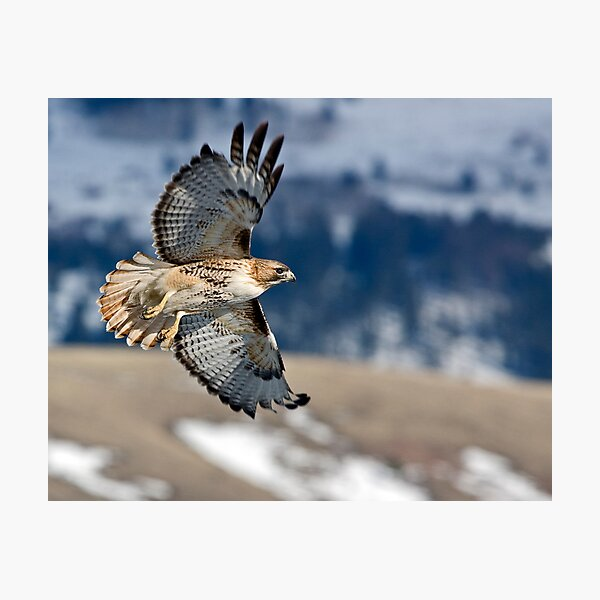 Wyoming ... der Frühling muss entspringen! Dies ist ein ziemlich häufiger Falke im Tal von Jackson Hole Fotodruck