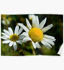 Scentless Mayweed Poster