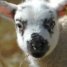 Cute lamb by Mandy Collins